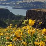 Fields of wild flowers over the Columbia River Gorge