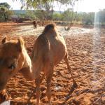 Nibbles the Camel
