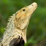 Iguanas are everywhere 'round here - this one is visited by a mantis
