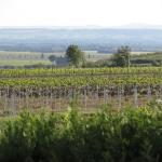Zoom on the grape vines