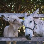 Guana Donkeys (186807490)