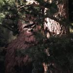 """Boomer' the Bigfoot"