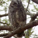 Scops Owl in the campsite