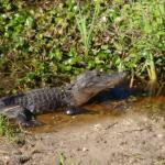 alligator sunning off in water beside the trail