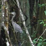 gray heron looking for minnows