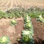 Beautiful garden with vegetables, part of the ancient village