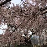 Jindai Cherry Blossom at Jissoji Temple