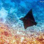 скат Орляк снят вблизи пляжа Palm Beach( snorkeling)