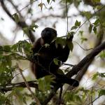 One of the Howler Monkeys on the property