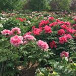 Foto de Luoyang International Peony Garden