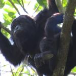 A howler monkey far up in the tree
