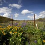 Meadowlark Vineyard in the Spring