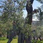 Uno dei tanti ulivi secolari presenti nel giardino