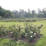 more rosebushes