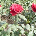 red roses again