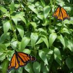 Two male Monarch butterflies in the butterfly pavilion