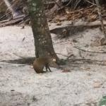 Frequently see wildlife (this is an agouti)