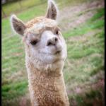 One of the friendly Alpacas at DeVille