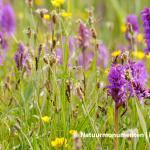 Orchideeën in het Zwanenwater