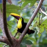 A toucan hanging out and posing
