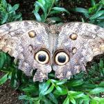 Butterfly at Salvatore butterfly garden, Monteverde