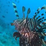 scorpion fish from our second dive at bida nai