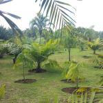 divers espèces de palmiers