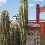 Saguaros and Info