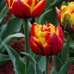 Tulips in the bulb beds 12 March