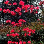 Azaleas mostly finished by 12 March