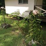 Plant de vanille qui pousse à côté du bungalow