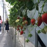 Minamichita Strawberry Farm