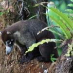 Coati hunting for food