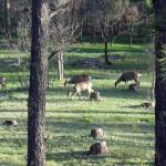 Deer grazing behind the hotel in the early evening.
