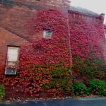 autumn ivy, side wall by parking lot