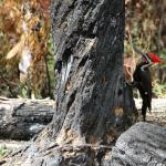 Pileated Wood-pecker