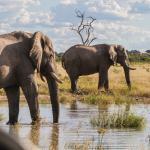 Elephants in Savute