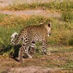 Young Leopard in Savute