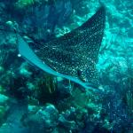 Eagle Ray in a patch reef