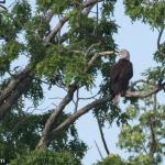 Bald Eagle. These birds are seen occasionally from the boardwalk area.