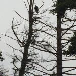 Eagles in abundance in the beautiful trees around us!