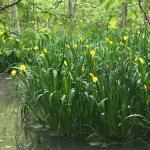 some wild irises (I think)