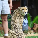 Michangelo, the cheetah who is available for photos or meet & greets.