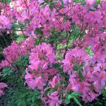 Azaleas blooming at the front porch