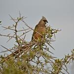 Speckled Mousebird - finally sitting still long enough.