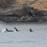 more Orcas!