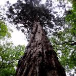 Sequoia du Parc