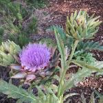 Artichokes in the garden.
