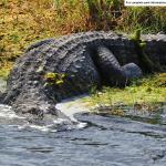 Alligator at Merritt Island National Wildlife Refuge