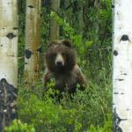 Grizzly bear in the aspens